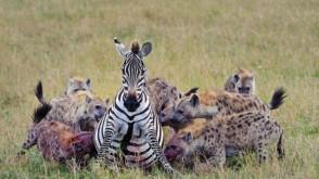 Acımasız Sırtlanlar Hamile Zebraya Saldırdı